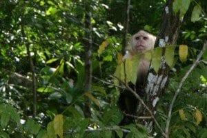 Mono en Panamá