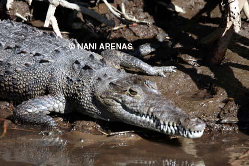 cocodrilo-nani-arenas-blog