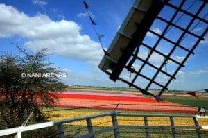 Molinos y campos de flores, estampa típica de Holanda ,
