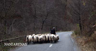Ovejas en medio de la carretera en Transilvania