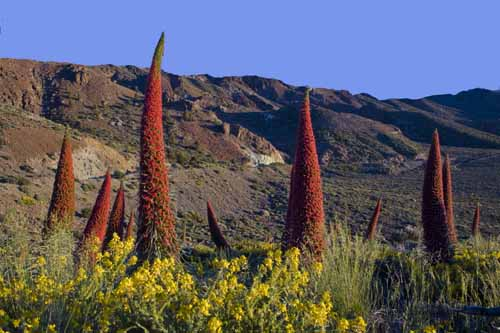 Tenerife tajinastes rojos