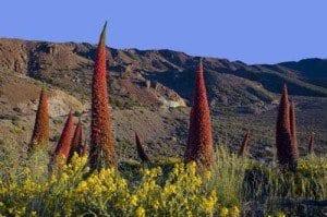 Tenerife tajinastes rojos primer plano la viajera blog