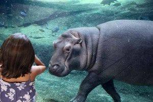 Valencia bioparc hipopotamo blog