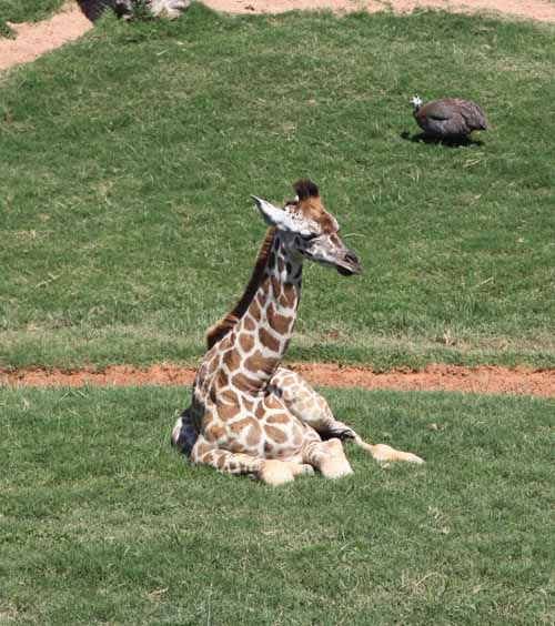 Valencia bioparc jirafa bebe blog