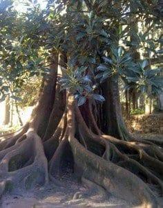 La sequoya es uno de los árboles más famosos de la Quinta das Lagrimas, Coimbra