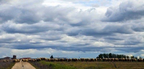 Un rebaño de ovejas cruza la carretera, estampa típica en la provincia de Valladolid