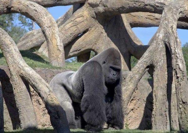 Un gorila en el Bioparc