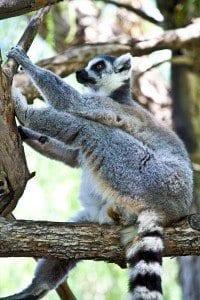 Los Lémures son los animales que más sorprenden el Bioparc de Valencia
