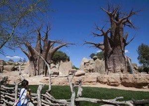 Baobabs en el Bioparc