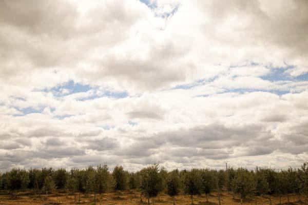Plantación de olivos Valladolid
