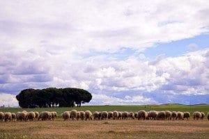 Ovejas en los alrededores de la granja Cantagrullas