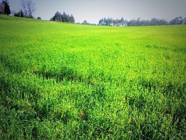 verde camino ingles