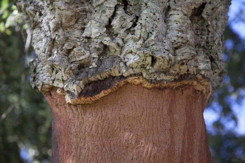 Detalle del corcho en el tronco de un alcornoque