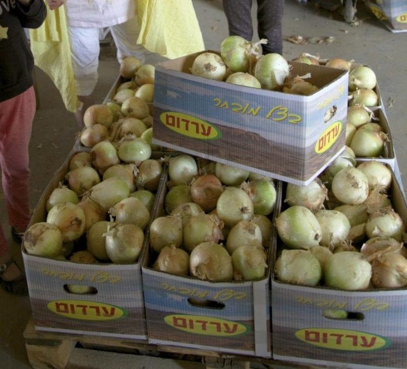 Yotvata kibbutz de cebollas