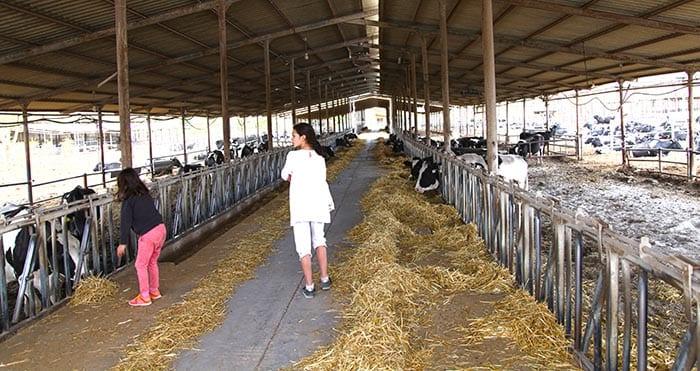 En Yotvata tienen mas de mil vacas