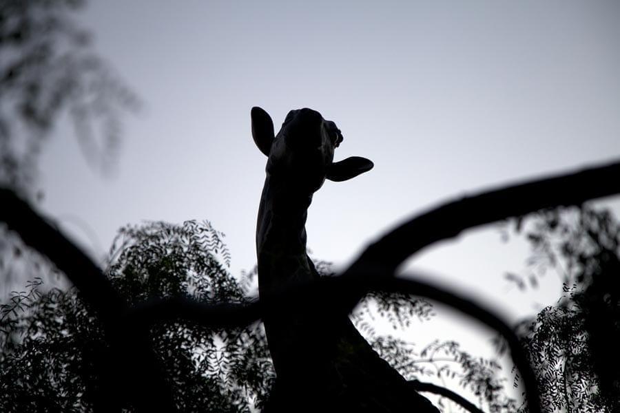 lopesan baobab jirafa blog