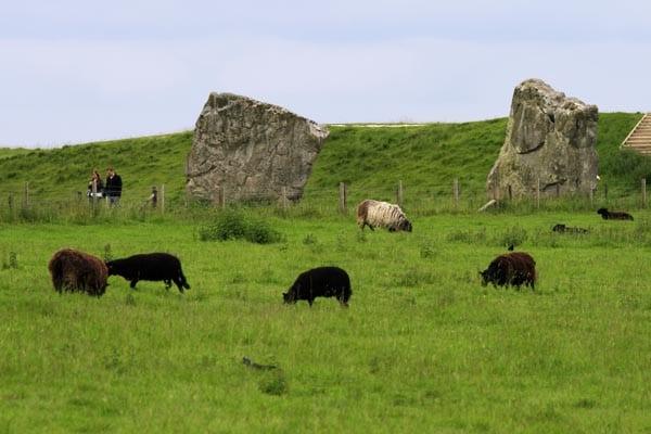 Es habitual ver pastar ganado cerca de las piedras de Avebury