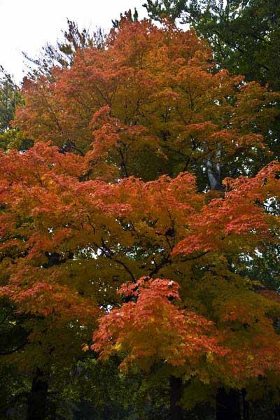 Imagen de un árbol en otoño en Central Park, Nueva York