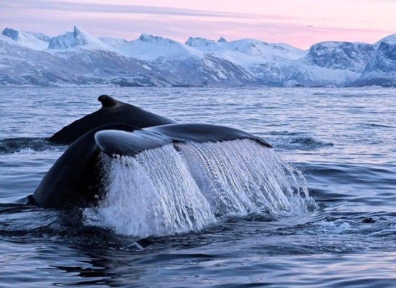 Entre diciembre y febrero esta imagen es habitual en el Bergsfjord