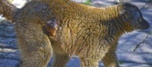 Cría de lémur frentirrojo nacida en marzo de 2017