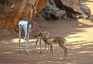 Crías de gacela Mhorr nacidas el pasado marzo en el BIOPARC de Valencia