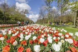 El tulipán, la flor más preciada de Holanda