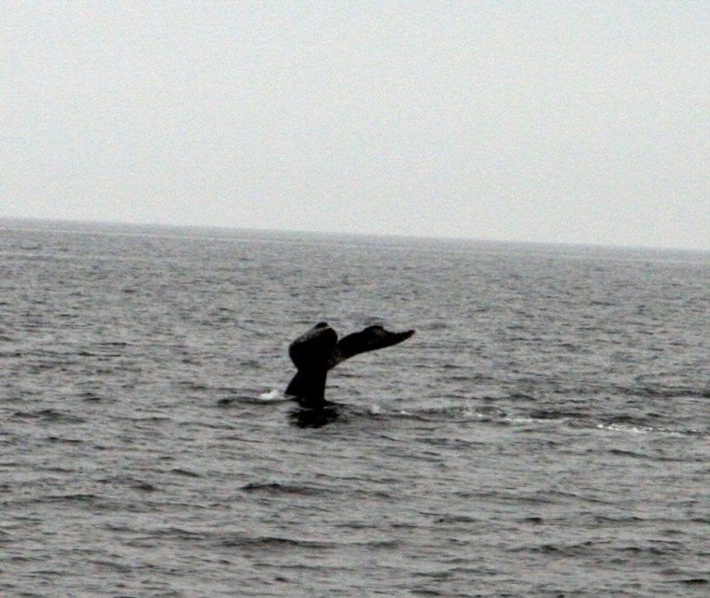 Ballena en la bahía de Boston