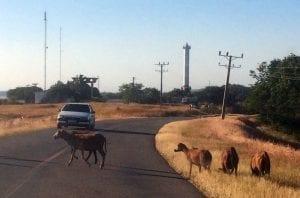 Animales en la carretera en Cuba