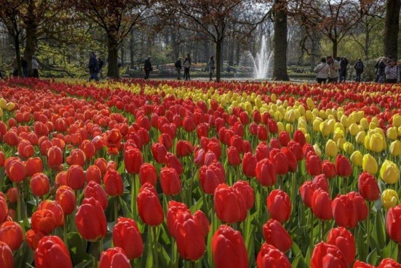 Hay en Keukenhof miles y miles de tulipanes