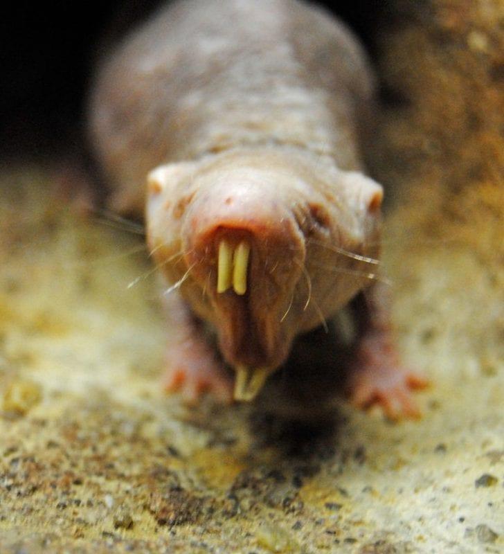 Primer plano de una rata topo desnuda