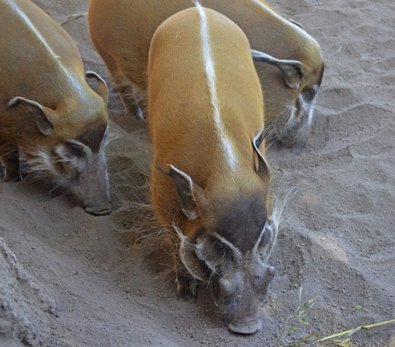 Detalle del pelaje de los potamoqueros