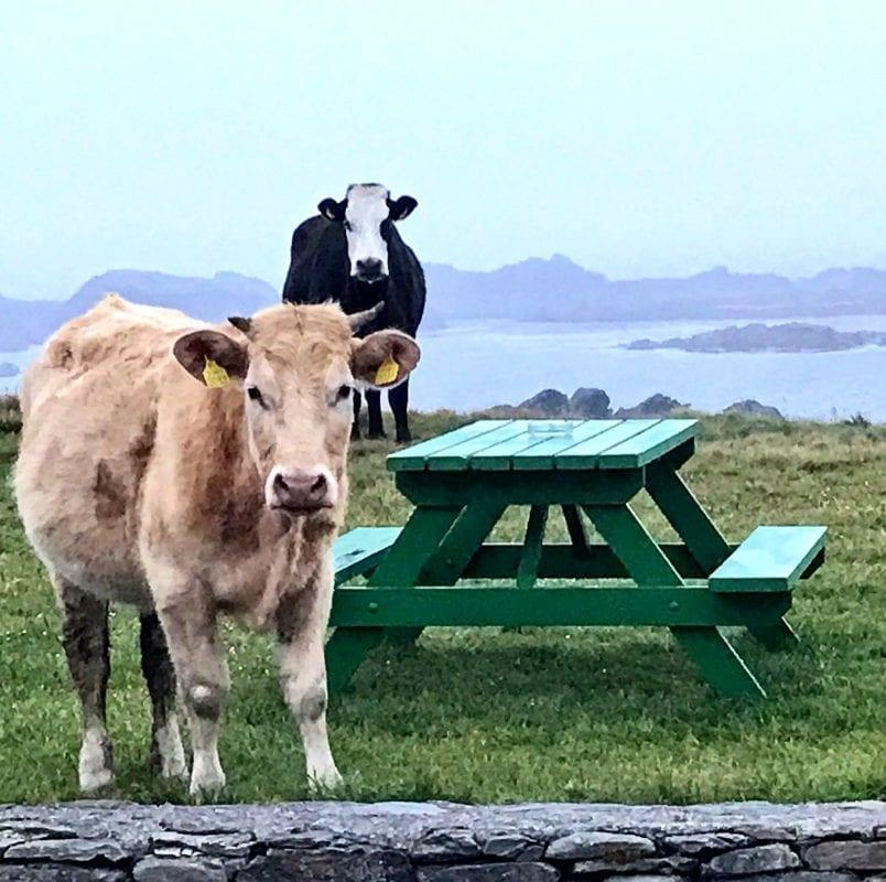 Vacas blancas en Inishbofin