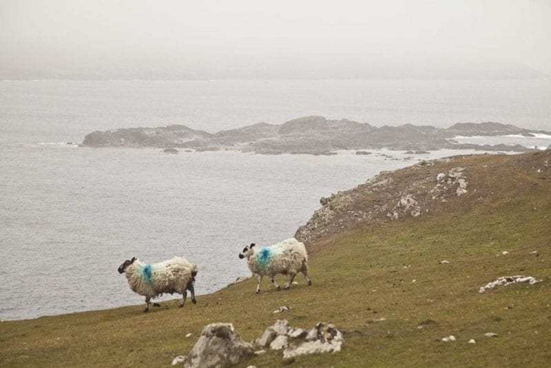 Inishbofin está llena de ovejas