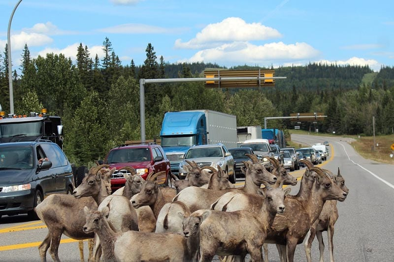 Cabras en la carretera escena habitual en los parques canadienses
