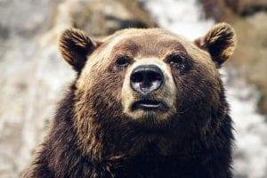 El oso Grizzly es el tercer carnívoro más grande de Norteamérica
