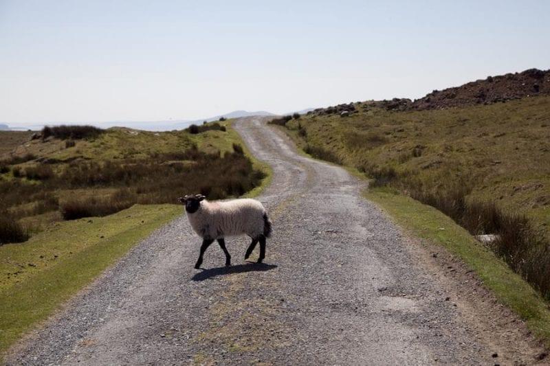 La isla está llena de ovejas