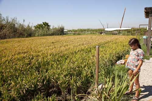 Los arrozales de la Albufera se pueden visitar
