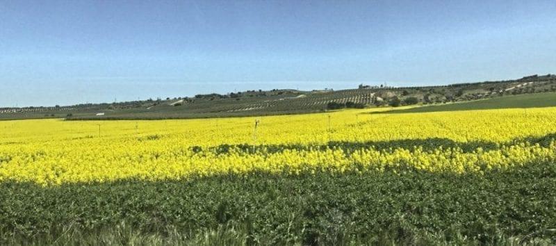 Campos de colza floridos