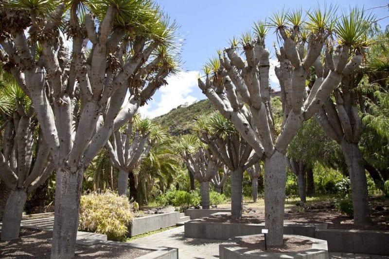 Dragos en el Jardín Botánico