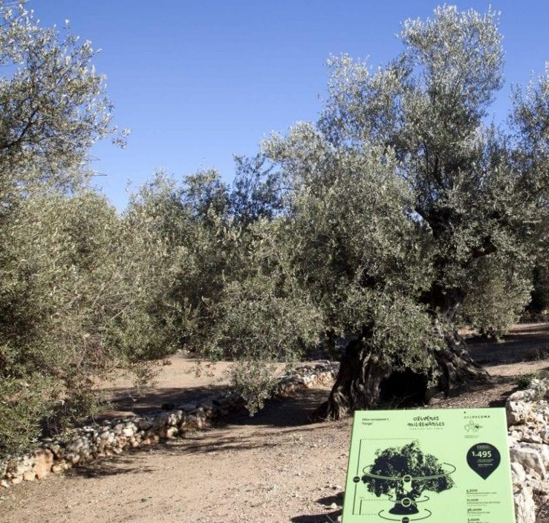 Olivos milenarios de Ulldecona