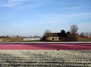 En Flevoland se cultivan millones de flores