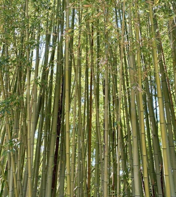 Bosque de bambú