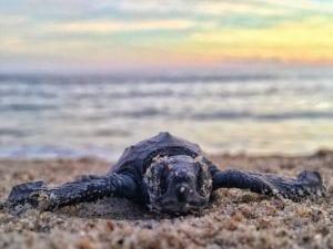 En las playas de Puerto Escondido desovan las tortugas