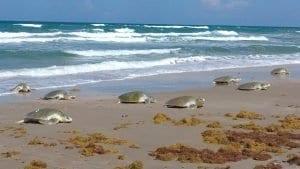 Tortugas en la playa de La Escobilla