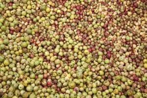 En Asturias hay 25 variedades de manzanas autóctonas