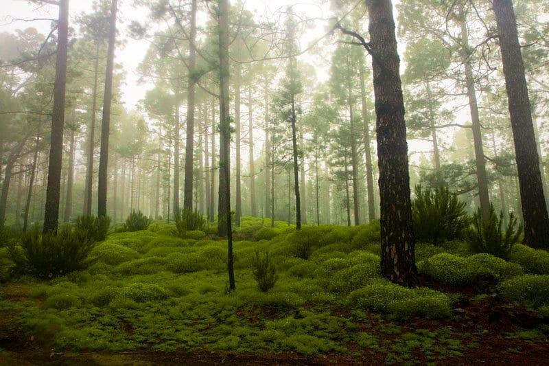 Bosque de laurisilva en Tenerife